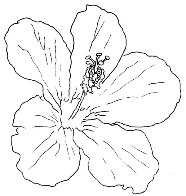 Hibiscus Flower Line Drawing : Related keywords suggestions for hibiscus line drawing